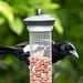 Agile magpie