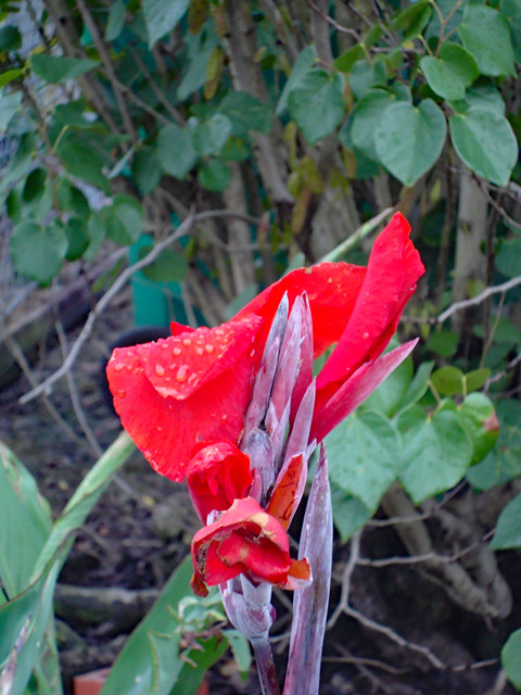 Red Canna Lily.