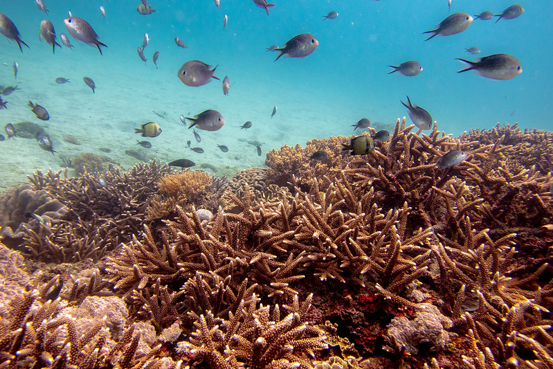 Underwater photo of a healthy coral reef with fish swimming above it.