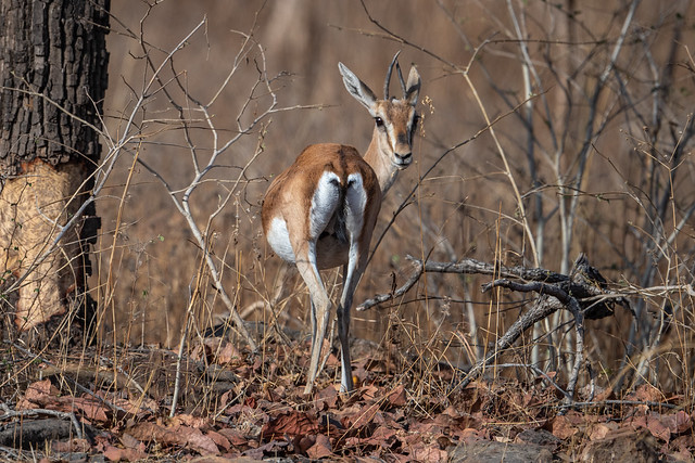 female Deccan Gazelle