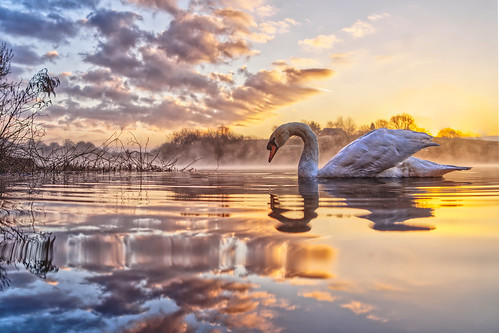 daisynook countrypark crimelake failsworth manchester uk swan dawn sunrise lowpointofview clouds reflections hollinwoodcanal cygnusolor lakeside trees