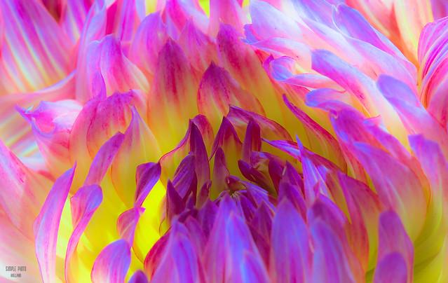 Flower beauty - Dahlia