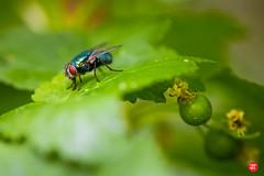 Spyfluga och svartavinbär