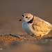 Piping Plover - Charadrius melodus | 2020 - 2