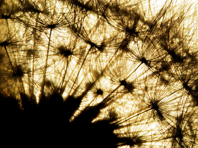 dandelion sunspots