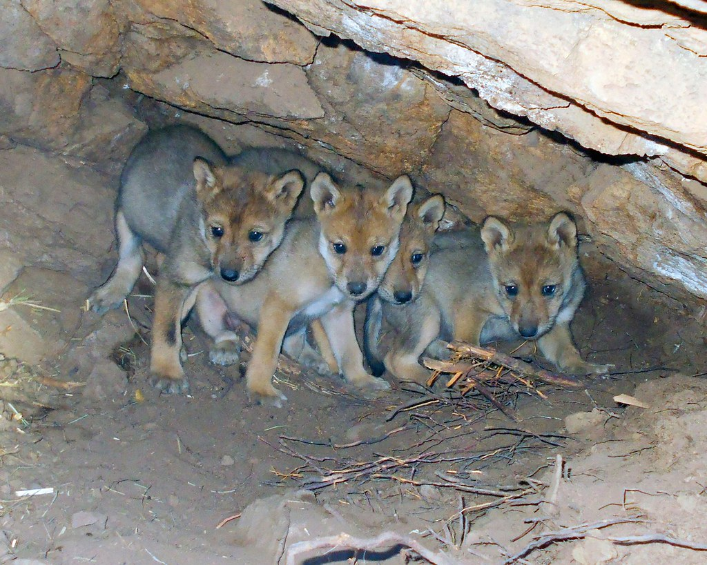 photo of wolf pups
