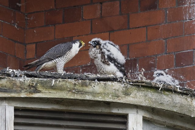 Peregrine Falcon,feeding young