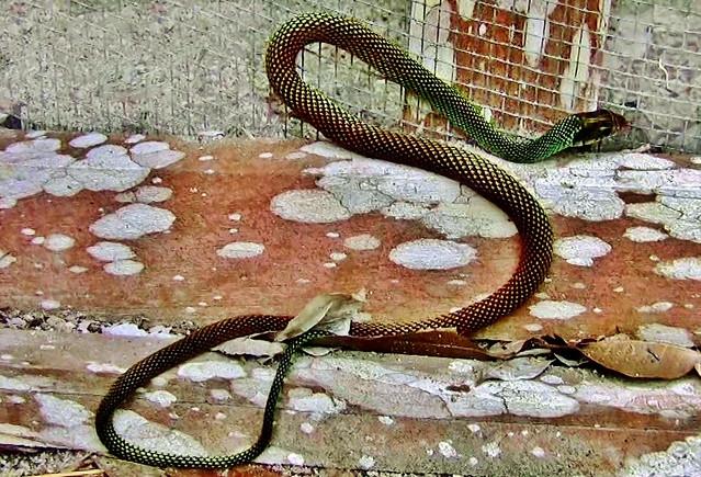 MEXICO, Mayastätte Bacalar,  Schlange - sie hat wahrscheinlich (fast) mehr Angst als ich, 19806/12736