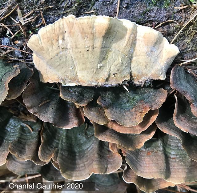 Stereum subtomentosum / Stérée tomenteuse