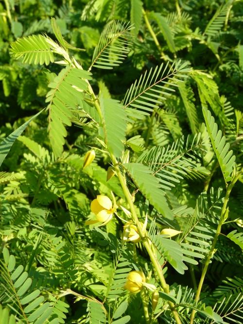 Chamaecrista fasciculata 49988754176_6ea5626d6c_o