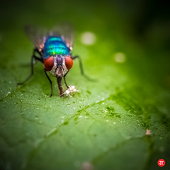 Blå spyfluga
