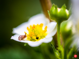 Baby snail on strawberry flower | by Jonas Thorén