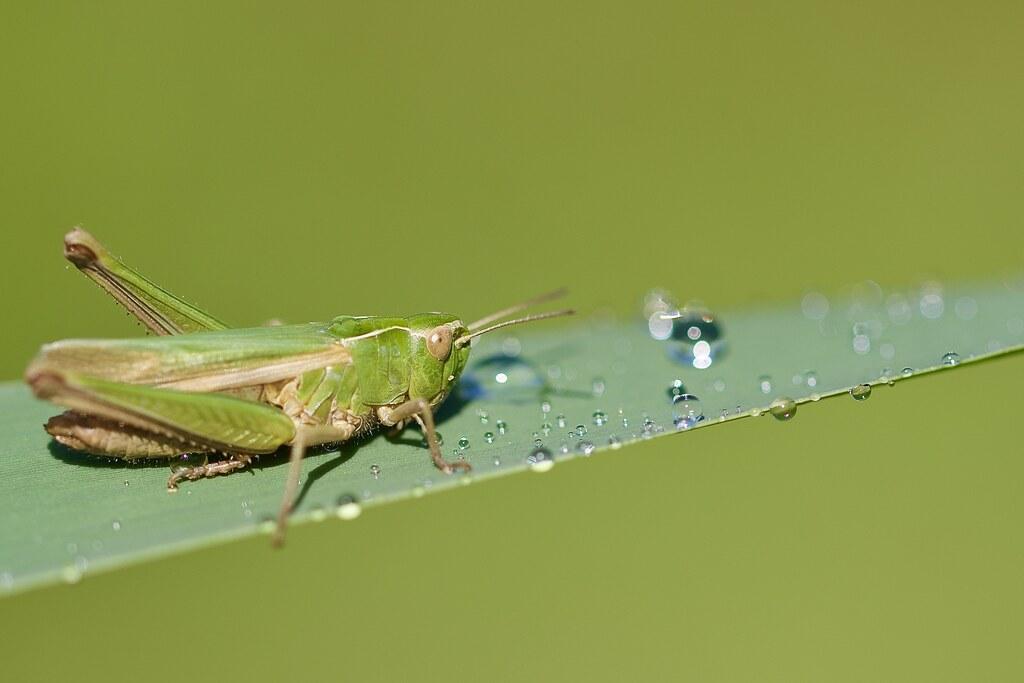 Common green grasshopper (Omocestus viridulus)
