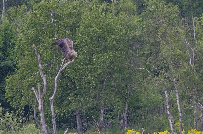 Seeadler am Nordufer des Plauer Sees