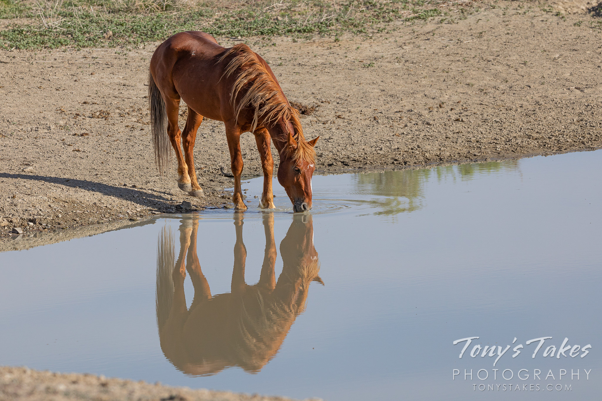Wild horse watering hole reflections