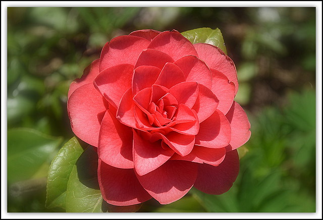 Flower Of The day - Camellia