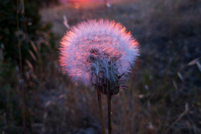 California Dandelion