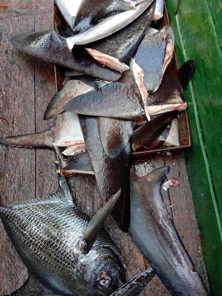 在中國鮪延繩釣船「Long Xing 629」上發現的鯊魚鰭shark fins on Chinese longliner boat