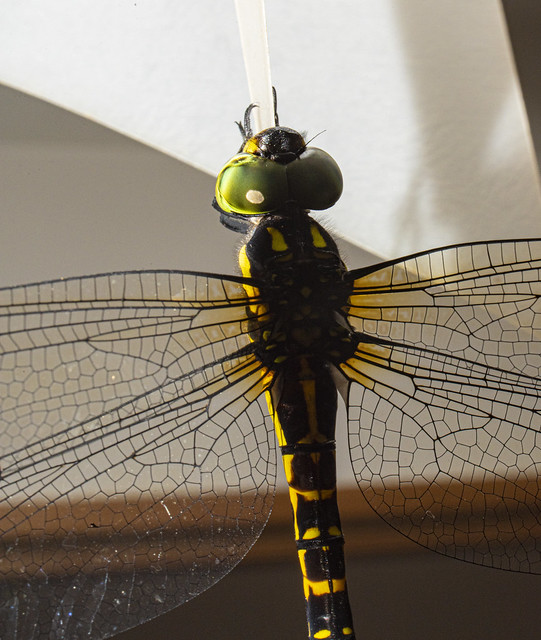 King of all DragonFlies