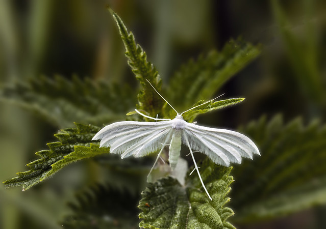 White-plume-moth