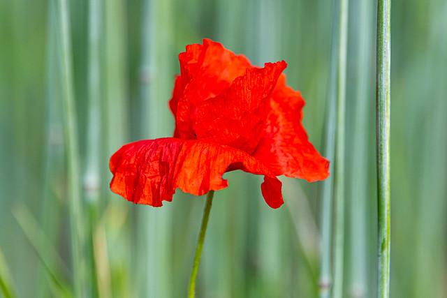 Poppy - 3359