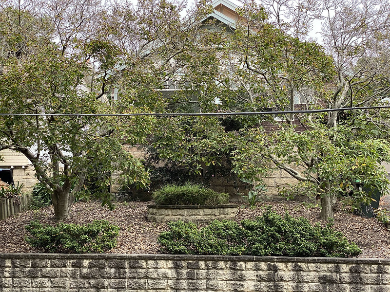Magnolia yard