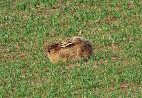 Brown Hare in the field..x | by Lisa@Lethen