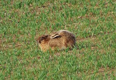 Brown Hare in the field..x