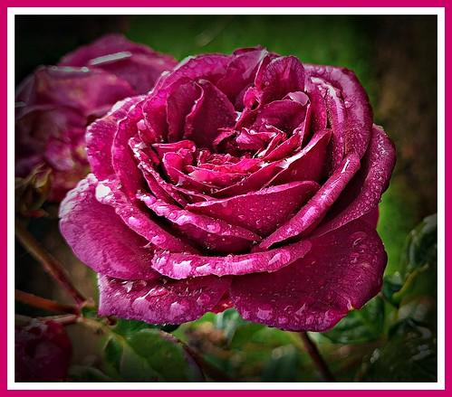 crimsonprincess crimson darkred redrose crimsonrose swanes rosegarden galston dural swanesnursery