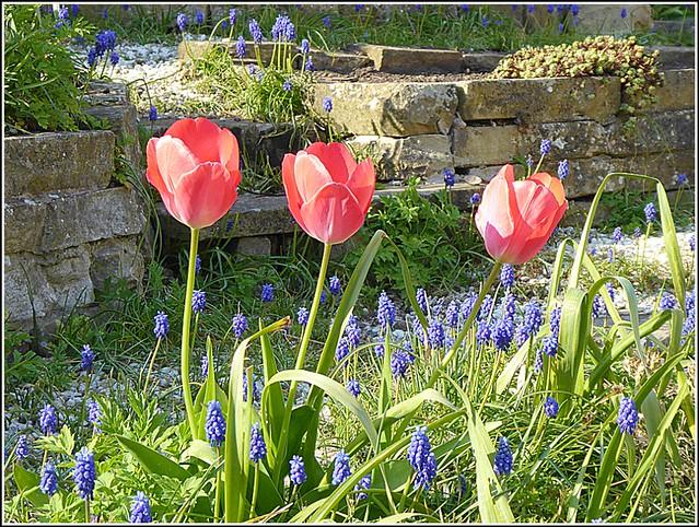 Three Tulips ..