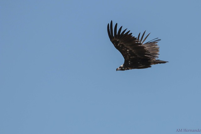 Buitre negro-Aegypius monachus-Black vulture