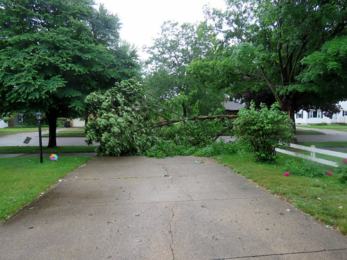 tree knocked down by strong winds