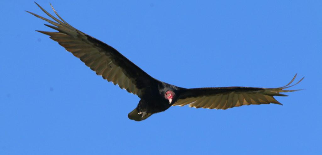 Texas Turkey Vulture