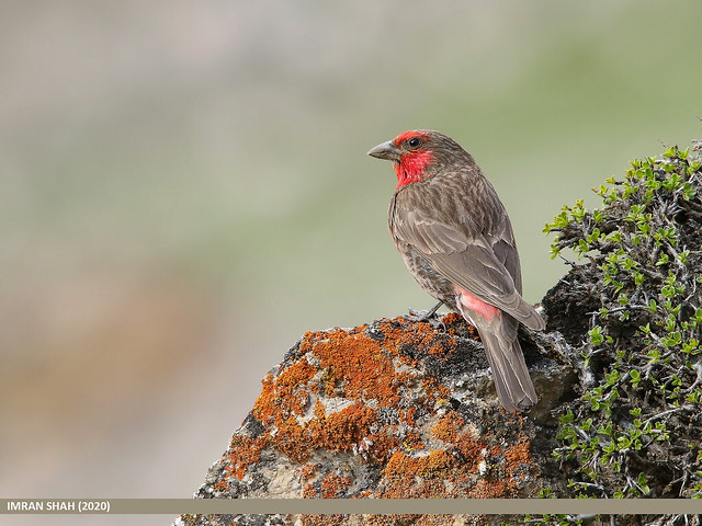 Red-fronted Rosefinch (Carpodacus puniceus)