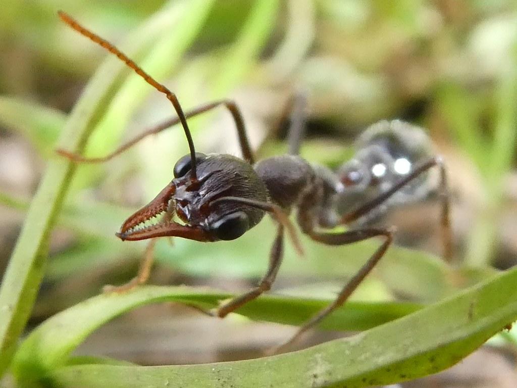 Giant Brown Bull Ant / Myrmecia pyriformis Queen + 1 - 2