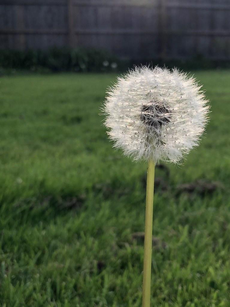 Wishing Dandelion