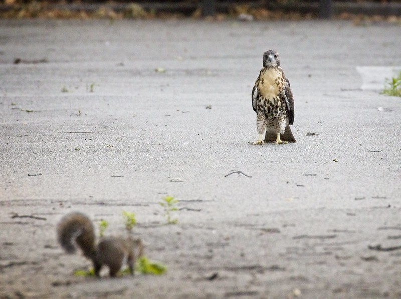 Tompkins Square red-tail fledgling confronts a squirrel