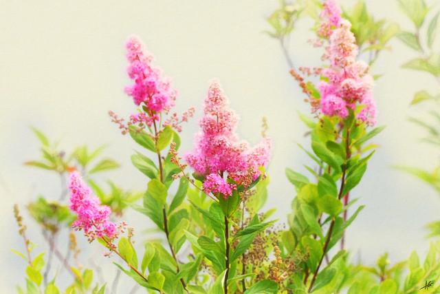 Little Pink Beauties