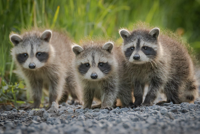 Baby Raccoons | Procyon lotor | Raton Laveur