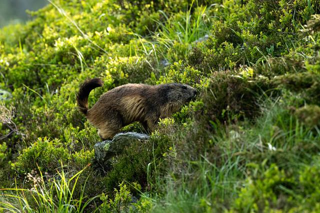 Marmotte du Sancy.