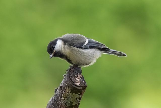 Junge Kohlmeise / Young Great Tit