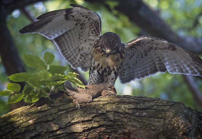 Tompkins Square red-tail fledgling with a squirrel