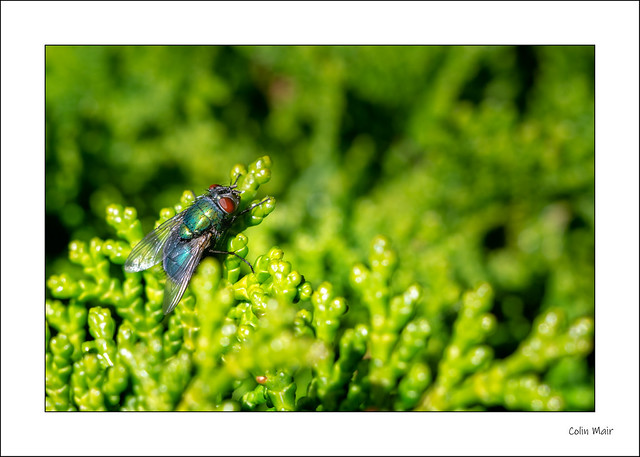Hey Fly don't bother me... - (Jupiter 8, 50mm, f8) - 2020-06-01st