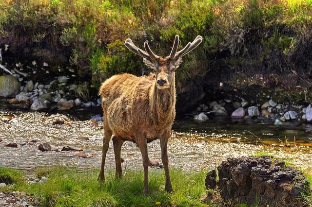 Wlidlife in Scotland, Torridon, Highland, Scotland, UK