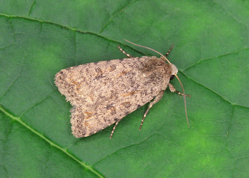 73.095 Pale Mottled Willow - Caradrina clavipalpis