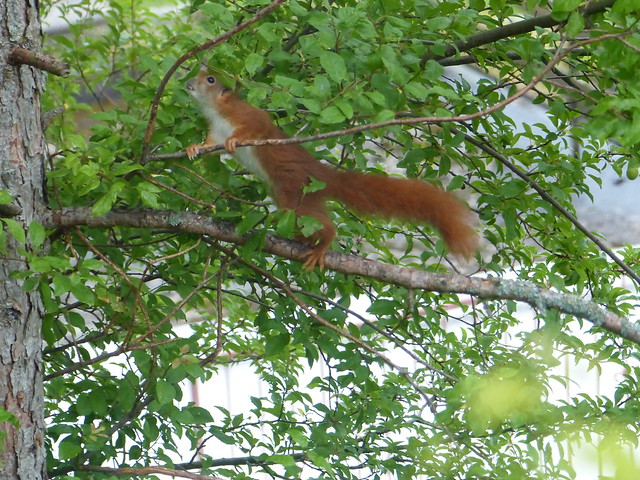 Zwei Eichhörnchen / Two Squirrels