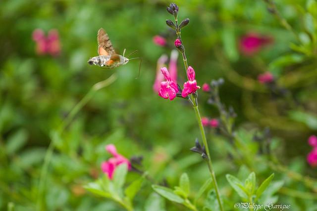 Sphinx colibri , connus pour leur faculté à butiner en vol stationnaire.