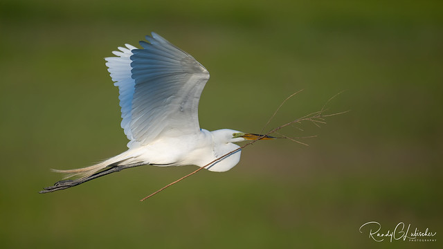 Great Egret - Ardea alba | 2020 - 2