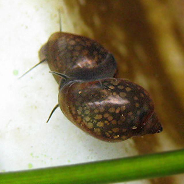 サカマキガイ ビオトープ 睡蓮鉢 スネール スネイル 小さい貝 Physa acuta