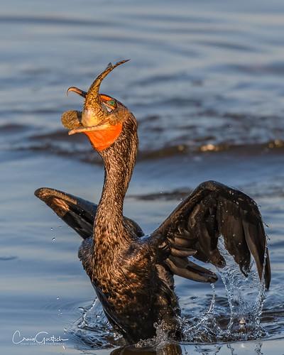 dingdarlingnwr cormorant doublecrestedcormorant fish bird avian animal wildlife nature nikon d500